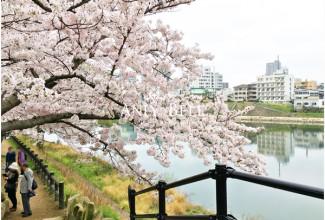 岡山後楽園桜
