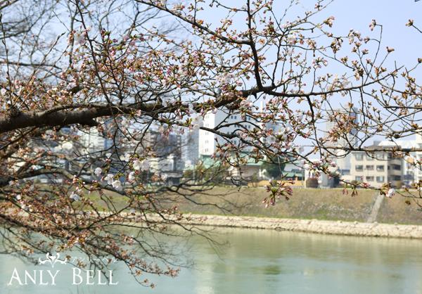 岡山後楽園外の桜